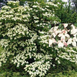 Vrtnarstvo Breskvar - Cornus kousa Eurostar