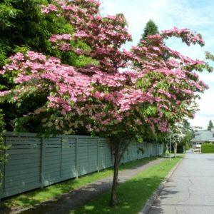Cornus kousa 'Satomi' - Vrtnarstvo Breskvar