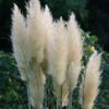 Vrtnarstvo Breskvar - Cortaderia selloana Weisse Feder