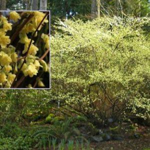 Vrtnarstvo Breskvar - Corylopsis pauciflora