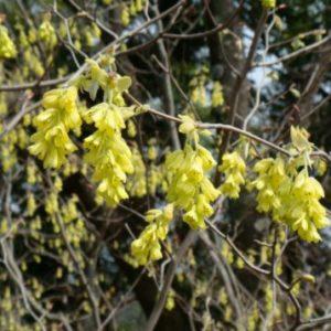 Vrtnarstvo Breskvar - Corylopsis spicata