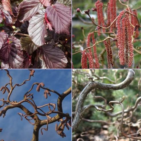 Vrtnarstvo Breskvar - Corylus avellana Red Majestic