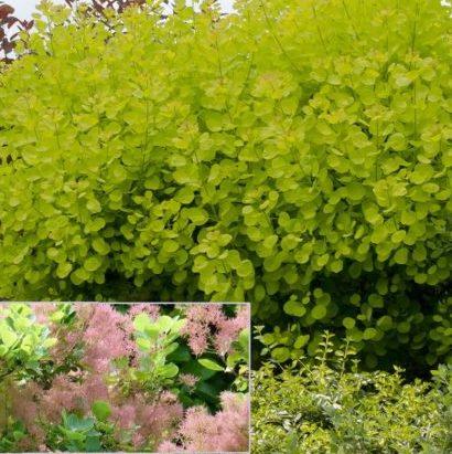 Vrtnarstvo Breskvar - Cotinus coggygria Golden Spirit