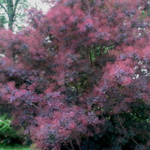 Vrtnarstvo Breskvar - Cotinus Coggygria Royal Purple