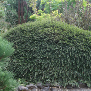 Vrtnarstvo Breskvar - Cotoneaster adpressus Little Gem