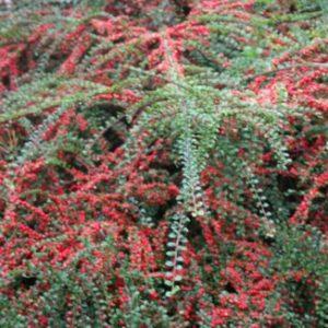 Vrtnarstvo Breskvar - Cotoneaster horizontalis
