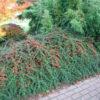 Vrtnarstvo Breskvar - Cotoneaster suecicus Coral Beauty