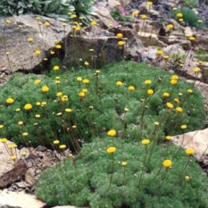 Vrtnarstvo Breskvar - Cotula hispida