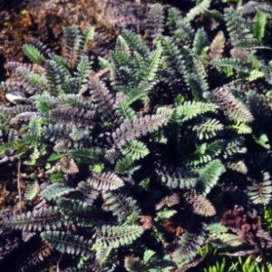 Vrtnarstvo Breskvar - Cotula potentillina
