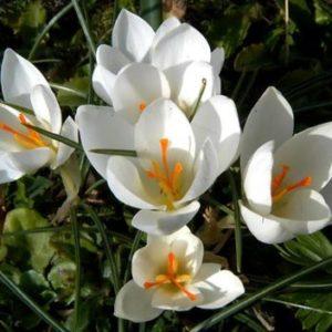 Vrtnarstvo Breskvar - Crocus Miss Vain