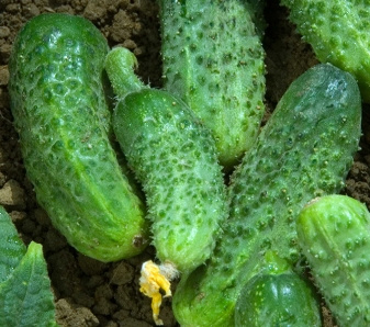 Vrtnarstvo Breskvar - Cucumis Sativus Levina F1