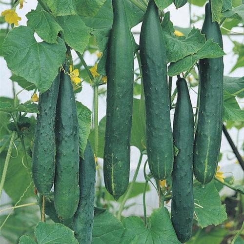 Vrtnarstvo Breskvar - Cucumis Sativus Tasty King F1