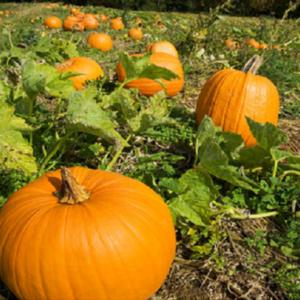 Vrtnarstvo Breskvar - Cucurbita Halloween