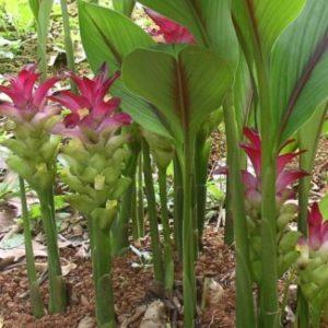 Vrtnarstvo Breskvar - Curcuma zedoaria