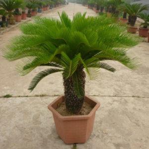 Vrtnarstvo Breskvar - Cycas revoluta