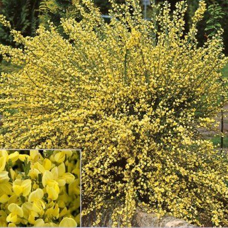 Vrtnarstvo Breskvar - Cytisus praecox Allgold