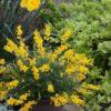 Vrtnarstvo Breskvar - Cytisus racemosus Phebus