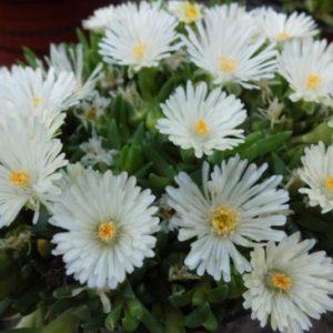 Vrtnarstvo Breskvar - Delosperma congestum Alba