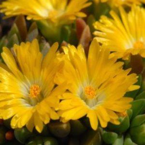 Vrtnarstvo Breskvar - Delosperma congestum Gold Nugget