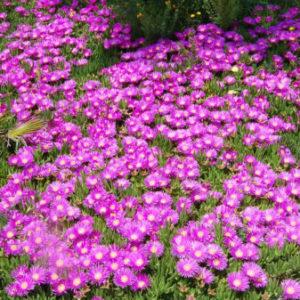 Vrtnarstvo Breskvar - Delosperma cooperi