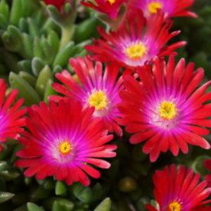 Vrtnarstvo Breskvar - Delosperma hybrida Jewel of Deserts Garnet