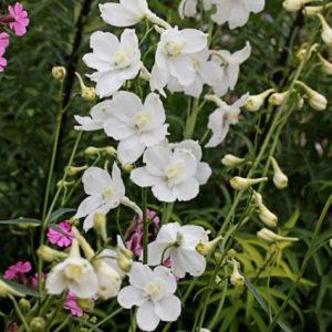 Vrtnarstvo Breskvar - Delphinium belladonna Casa Blanca