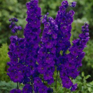 Vrtnarstvo Breskvar - Delphinium Pacific Black Knight
