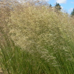 Vrtnarstvo Breskvar - Deschampsia caespitosa