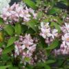 Vrtnarstvo Breskvar - Deutzia Mont Rose