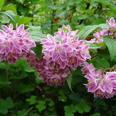 Vrtnarstvo Breskvar - Deutzia Tourbillon - Rouge