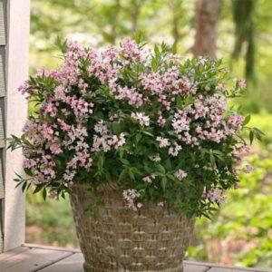 Vrtnarstvo Breskvar - Deutzia Yuki Cherry Blossom