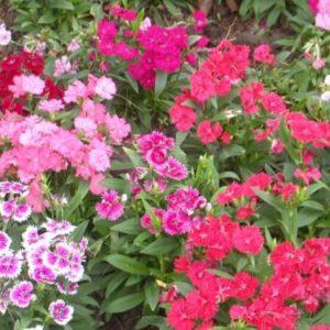 Vrtnarstvo Breskvar - Dianthus chinensis