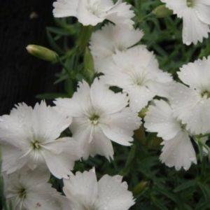 Vrtnarstvo Breskvar - Dianthus gratianopolitanus La Bourboule Alba