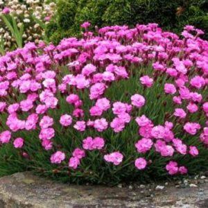 Vrtnarstvo Breskvar - Dianthus gratianopolitanus Pink Jewel
