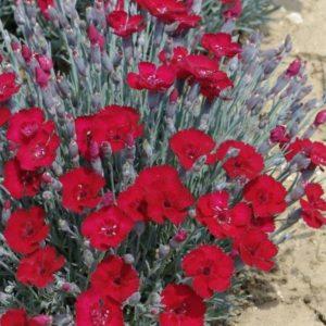 Vrtnarstvo Breskvar - Dianthus gratianopolitanus Rubin