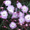 Vrtnarstvo Breskvar - Dianthus gratianopolitanus Whatfield Wisp