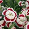 Vrtnarstvo Breskvar - Dianthus superbus Olivia