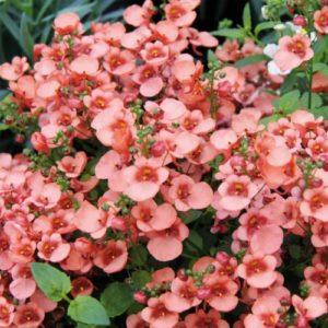 Vrtnarstvo Breskvar - Diascia Breezee Plus Apricot