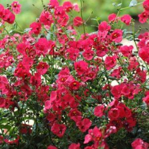 Vrtnarstvo Breskvar - Diascia Breezee Plus Red