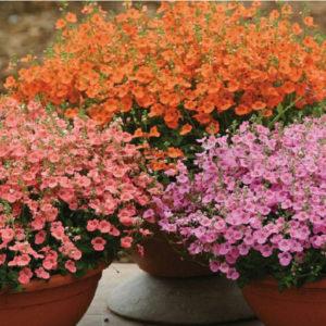 Vrtnarstvo Breskvar - Diascia