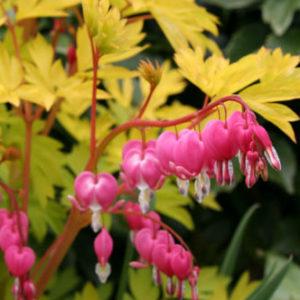 Vrtnarstvo Breskvar - Dicentra spectabilis Goldheart