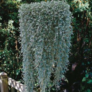 Vrtnarstvo Breskvar - Dichondra argentea Silver Falls
