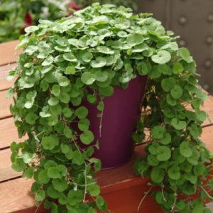 Vrtnarstvo Breskvar - Dichondra