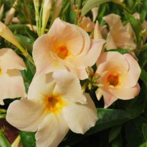Vrtnarstvo Breskvar - Dipladenia Apricot