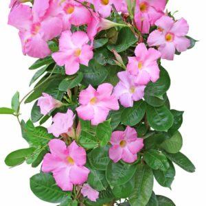 Vrtnarstvo Breskvar - Dipladenia sanderi