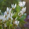Vrtnarstvo Breskvar - Dodecatheon meadia Alba