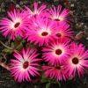 Vrtnarstvo Breskvar - Dorotheanthus Bellidiformis
