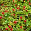 Vrtnarstvo Breskvar - Duchesnea indica