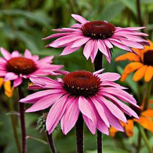 Vrtnarstvo Breskvar - Echinacea purpurea