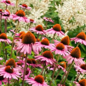 Vrtnarstvo Breskvar - Echinacea purpurea Leuchtstern